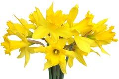 daffodils Стоковое Изображение