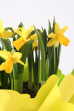 Daffodils. The bouquet of spring daffodils Royalty Free Stock Images
