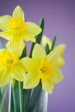 Daffodils Immagine Stock