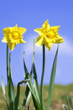 Daffodils. Spring daffodils in sunlight set against blue sky Royalty Free Stock Photos
