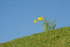 Daffodils. Blooming yellow wild daffodils, Narcissus pseudonarcissus, on a green grass bank against a bright blue sky Stock Photo