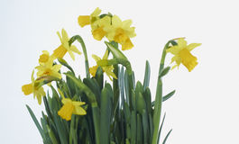 Daffodils. Yellow daffodils tops in a studio Stock Images