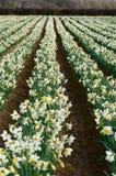 Daffodils Stock Photography