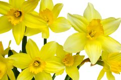 Daffodils Imagens de Stock Royalty Free