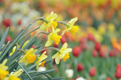 Daffodils Zdjęcie Stock