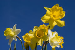 Daffodils. All natural light; spring flowers against late afternoon sky Royalty Free Stock Photography