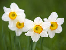Daffodils. Springtime white daffodils against a green background Royalty Free Stock Photo
