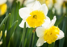 Daffodils. Narcissus - nice close-up Royalty Free Stock Photography