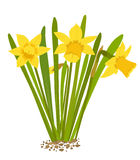 Daffodils. This image was created in Adobe Illustrator and does not have any blends, gradients, transparencies, or clipping masks. This image is fully  using a Royalty Free Stock Image