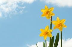 Daffodils Fotografia de Stock