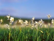 Daffodils весны в теплом свете захода солнца. стоковое фото