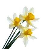 Daffodils стоковая фотография rf