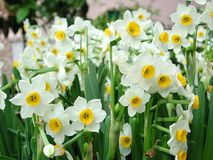 daffodils Стоковое Фото