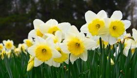 Daffodils. Στοκ Εικόνα