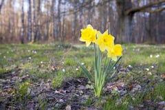 daffodils Immagini Stock Libere da Diritti