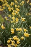 Daffodils Zdjęcie Royalty Free