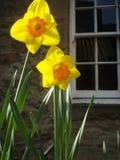 daffodils fotos de stock