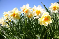 Daffodils. Bright white and yellow daffodils in bloom Stock Photography