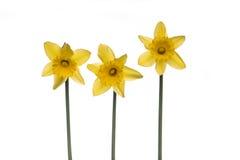 Daffodils Obrazy Royalty Free