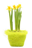 Daffodils. In Pot royalty free stock photo