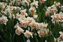 Daffodils zdjęcia stock