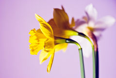 Daffodils. Photo of three daffodils neatly arranged Stock Images