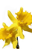 Daffodils. Two yellow daffodils in bright sunlight Royalty Free Stock Photography