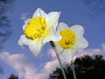 Daffodils. From an unusual angle Stock Photography