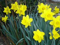 Daffodils. A cluster of bright yellow daffodils royalty free stock images