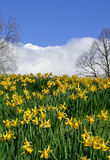 Daffodils. In Spring stock photography
