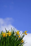 Daffodils. In Spring stock images