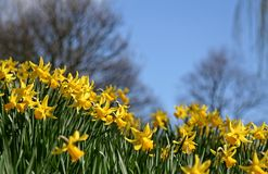 Daffodils. In Spring royalty free stock photo