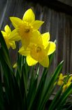 Daffodils. Small cluster of daffodils growing near a fence royalty free stock photography
