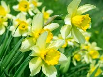 Daffodils. Bunch of daffodils at garden, close-up royalty free stock photography