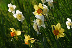 Daffodils. Image of daffodils (latin: narcissus). Bright colors, fresh, springy feel Stock Images