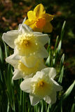 Daffodils. Image of daffodils (latin: narcissus). Bright colors, fresh, springy feel Royalty Free Stock Photography
