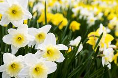 daffodils Obrazy Stock