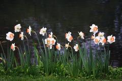 Daffodils Zdjęcia Royalty Free