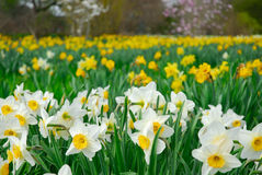 Daffodils. A field of daffodils in white-yellow royalty free stock photos