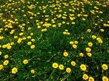 daffodils stock afbeeldingen