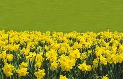 Daffodils 2 Obraz Stock