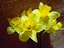 daffodils Fotos de Stock Royalty Free