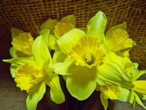daffodils Foto de Stock Royalty Free