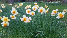 Daffodils Στοκ εικόνα με δικαίωμα ελεύθερης χρήσης