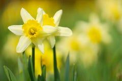 daffodils 2 Стоковые Фото