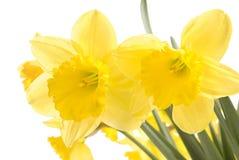 Daffodils abbastanza gialli sul isolat bianco della priorità bassa Fotografia Stock