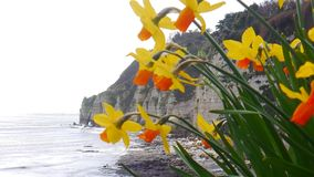 Daffodils against the backdrop of cliffs in Devon England. An arty shot of colorful daffodils against the grey background of cliffs at Beer Devon in England stock image