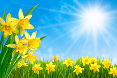 Daffodils against blue sky Royalty Free Stock Images