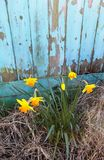 Daffodils against distressed shed, Northumberland, England. UK Royalty Free Stock Image