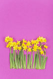 Daffodils agaist pink background Royalty Free Stock Photos